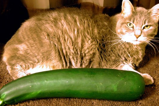 Zucchini the size of a cat