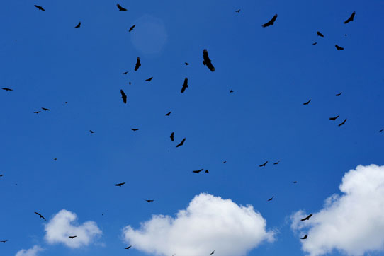 Vultures circling over Guatemala City Dump