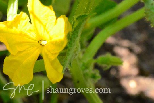 Cucumber-Flower