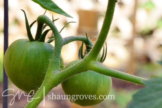 Green-Tomatoes-On-Vine