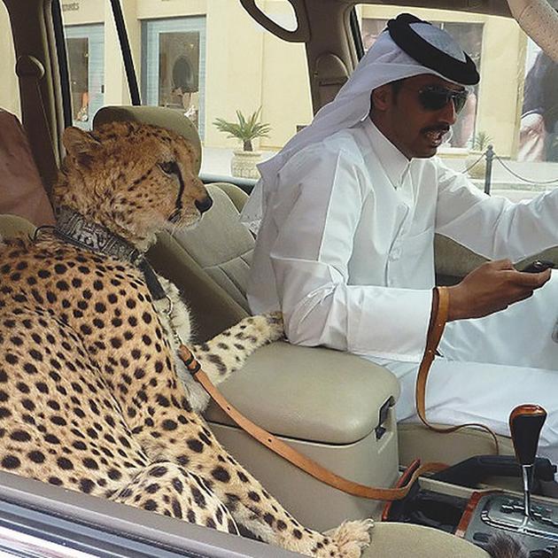 Dubai cheetah