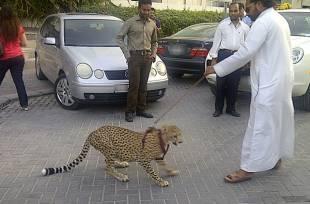 cheetah dubai